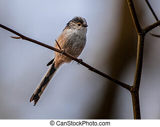 Long tailed tit perched on a branch - The long-tailed tit or...