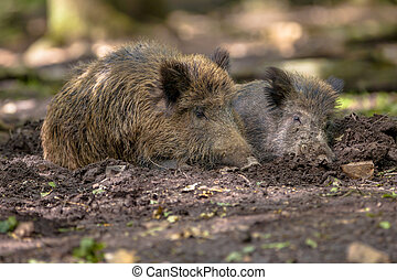 Two Wild Boar (Sus scrofa) wallowing in a mud pool to get...
