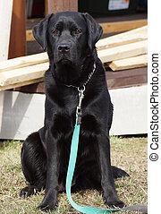 Black dog on a leash.