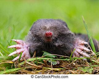 Mole Head closeup - Close up of a European Mole Talpa...