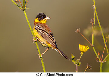 Black headed Bunting in herb - Black headed Bunting Emberiza...