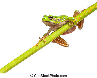 Green European Tree frog right page diagonal stick -...