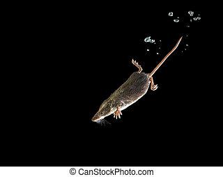 Diving Water Shrew - Foraging Aquatic Animal Watershrew...