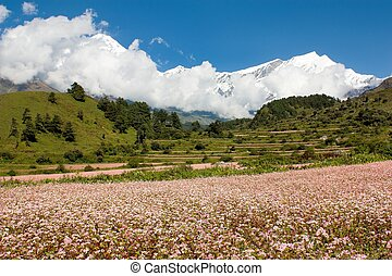 dhaulagiri himal with buckwheat field - Mount Dhaulagiri -...