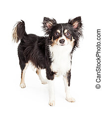 Well Trained Chihuahua Mixed Breed Dog Standing - A very...