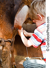 Milking - A young boy milking a brown cow into a tin bucket