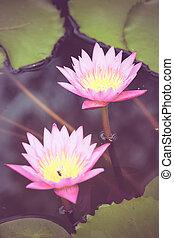 A beautiful pink waterlily or lotus flower in pond vintage...
