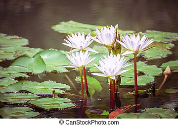 A beautiful pink waterlily or lotus flower in pond vintage...
