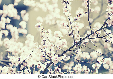 Spring blossom - retro styled photo of a blooming cherry...