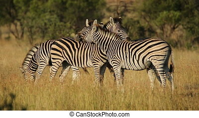 Interacting plains Zebras - Interacting plains (Burchells)...