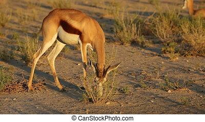 Feeding springbok antelope - A springbok antelope Antidorcas...