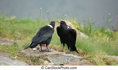 White-necked ravens - A pair of white-necked ravens Corvus...