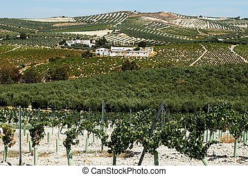 Olive groves and vineyards, Spain. - Olive groves with...