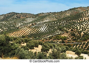 Spanish olive groves, Andalusia. - Spanish olive groves on...