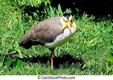 Masked Lapwing. - Masked Lapwing (Vanellus Miles Miles)...