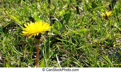 Yellow  dandelion footage. Spring time