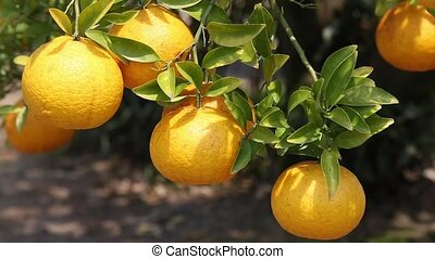 Japanese orange fruit tree - orange on the tree in Japan,...