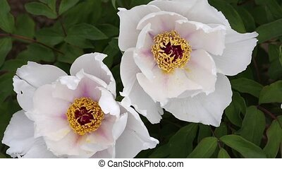 paeonia flower - Close up of paeonia flower in blossom...