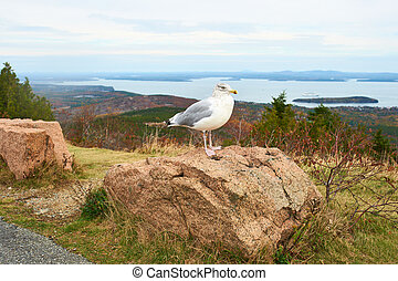 Seagull at Acadia National Park, Maine, USA