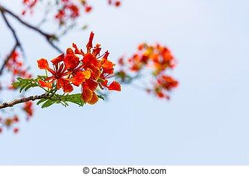 orange Caesalpinia pulcherrima - soft focus Caesalpinia...
