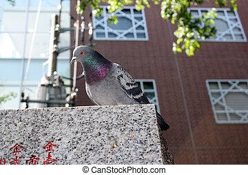 Tokyo Pigeon