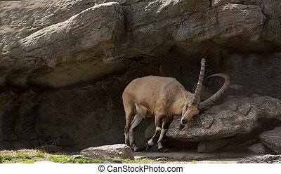 Nubian Ibex scrapping horns in a rock grotto