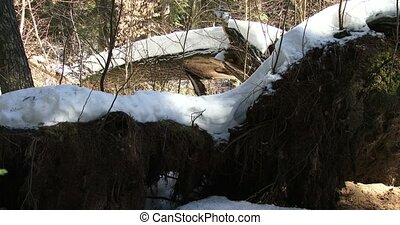 Huge tree fallen due to a winter storm in Algonquin...