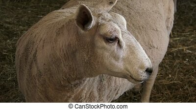 Sheep resting in small barn - Shorn sheep resting in small...