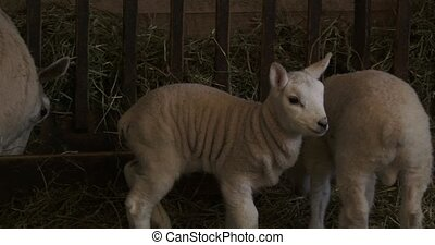 Small lambs living in a barn in Canada