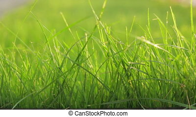 Grass with water drops - Close up of fresh thick grass with...
