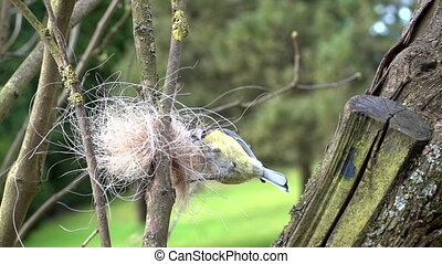 blue tit collects horse hair for its nest