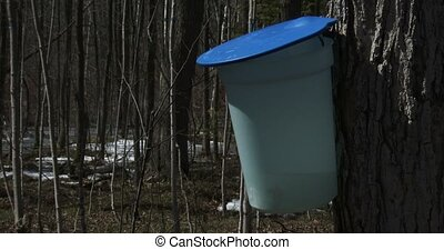 Bucket used to collect maple syrup during harvest season