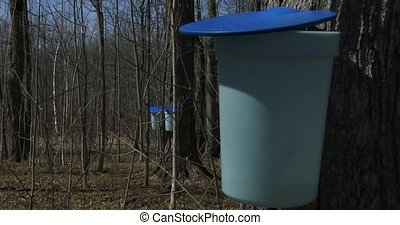 Buckets used to collect maple syrup during harvest season