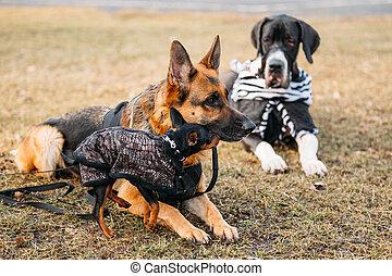 marrón, Sheepdog, Alemán, toget, Miniatura, negro, Pincher,...
