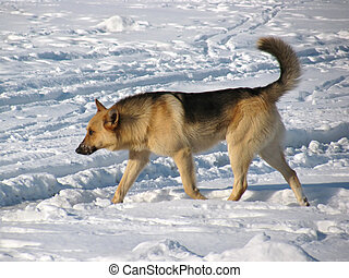 Stray dog running on snow