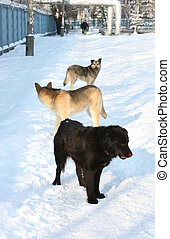 Stray dogs on the footpath - Stray dogs, standing on a snowy...