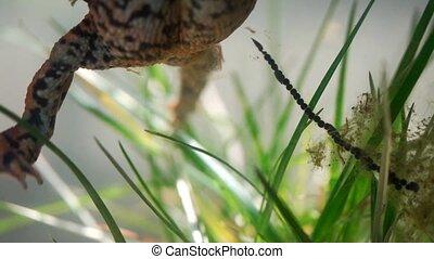 European toad - Bufo bufo
