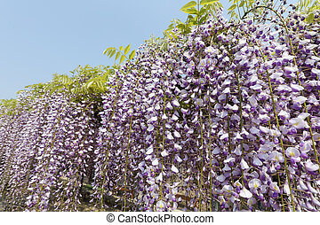 purple wisteria flowers against the clear blue sky