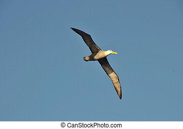 Flying albatross