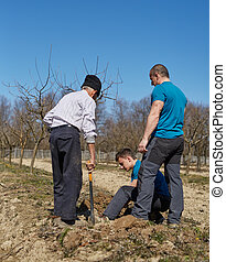 Grandson, father and grandfather planting a plum tree in an...