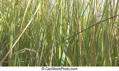 The high grass - The camcorder is moving in the tall grass