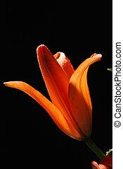 Lilly flower closeup