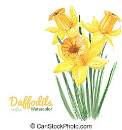 Daffodils - Watercolor illustration. Bouquet of three...
