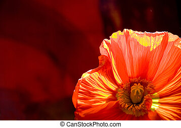 poppy flower in sunlight