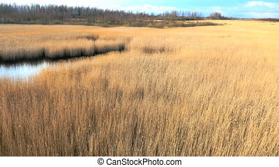 Common reed Phragmites, spring - Common reed Phragmites,...