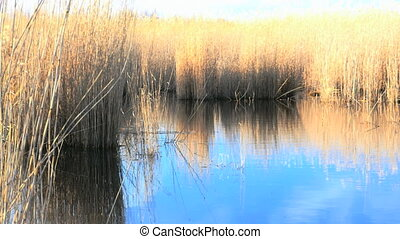 Waving reed along a lake in spring