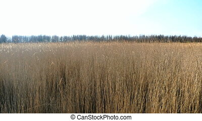 Common reed Phragmites, early spring background,