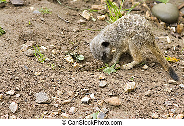Meercat - A baby meercat forraging for food