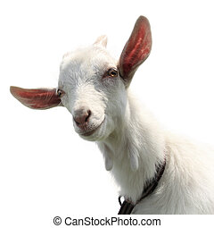 Goat - Cute goat kid isolated on a white