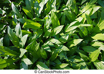 wild ramsons - wild fresh and ripe ramsons in forest in...